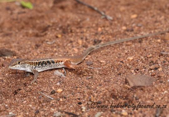 Bushveld Lizard (Heliobolus lugubris)
