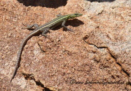 Common Flat Lizard (Platysaurus intermedius intermedius) - female