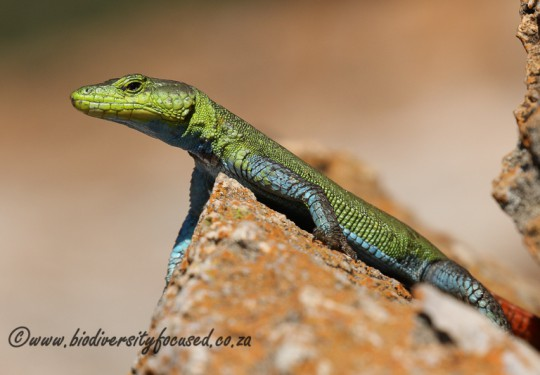 Common Flat Lizard (Platysaurus intermedius intermedius) - male