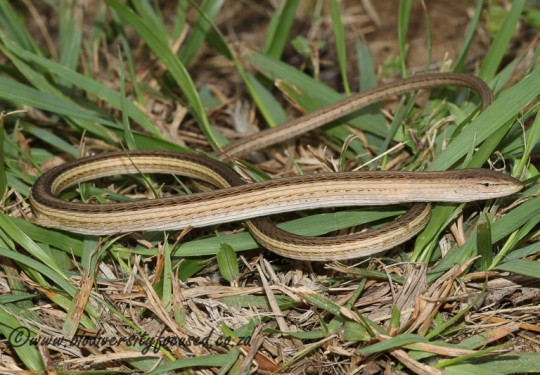 Large-scale Grass Lizard (Chamaesaura macrolepis)
