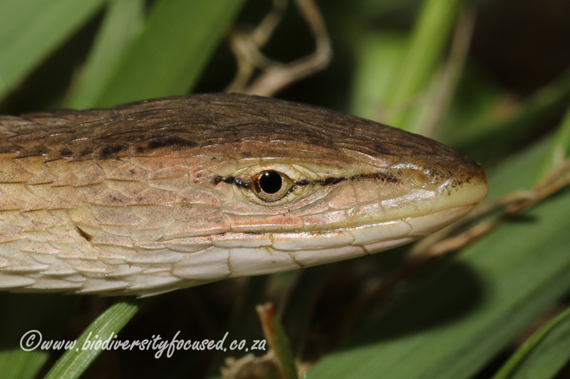 Large-scale Grass Lizard (Chamaesaura macrolepis) © Dorse
