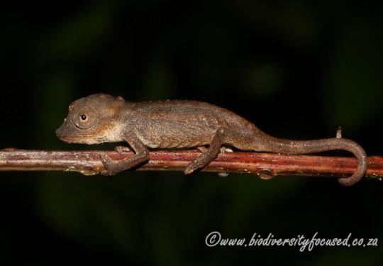 Setaros Dwarf Chameleon (Bradypodion setaroi)
