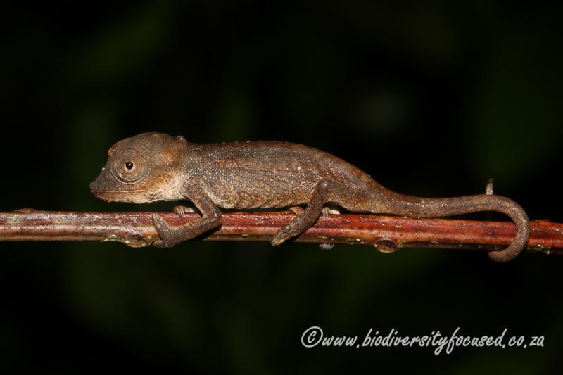 Setaro's Dwarf Chameleon (Bradypodion setaroi) © Dorse