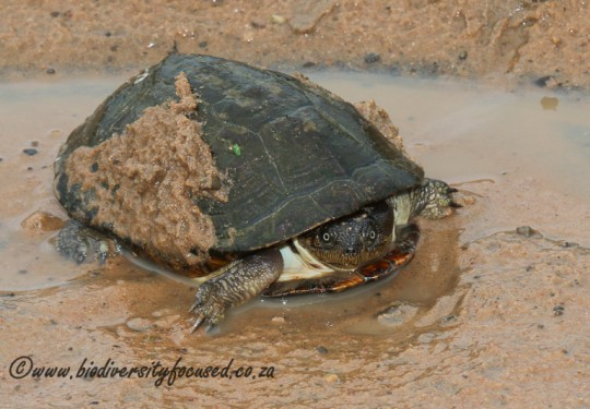Yellow-bellied Hinged Terrapin (Pelusios castanoides)