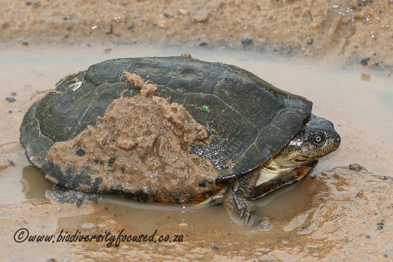 Yellow-bellied Hinged Terrapin (Pelusios castanoides) © Dorse