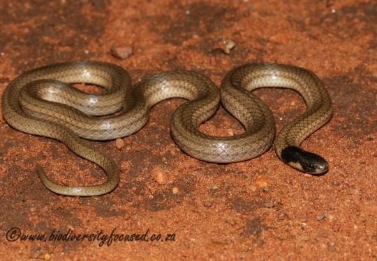 Black-headed Centipede-eater (Aparallactus capensis)