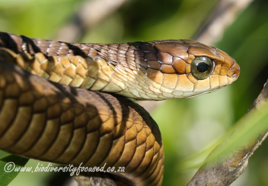 Boomslang (Dispholidus typus typus) - Female