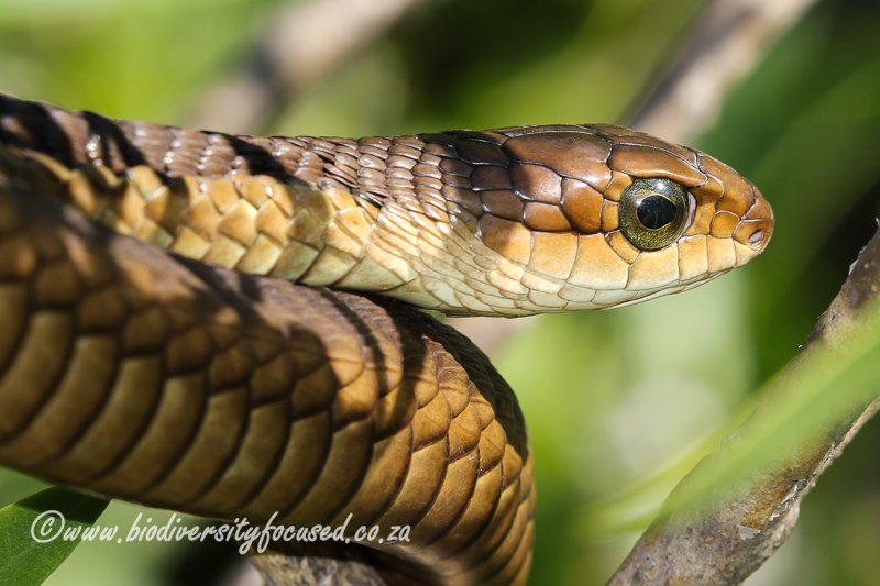 Boomslang (Dispholidus typus typus) © Dorse