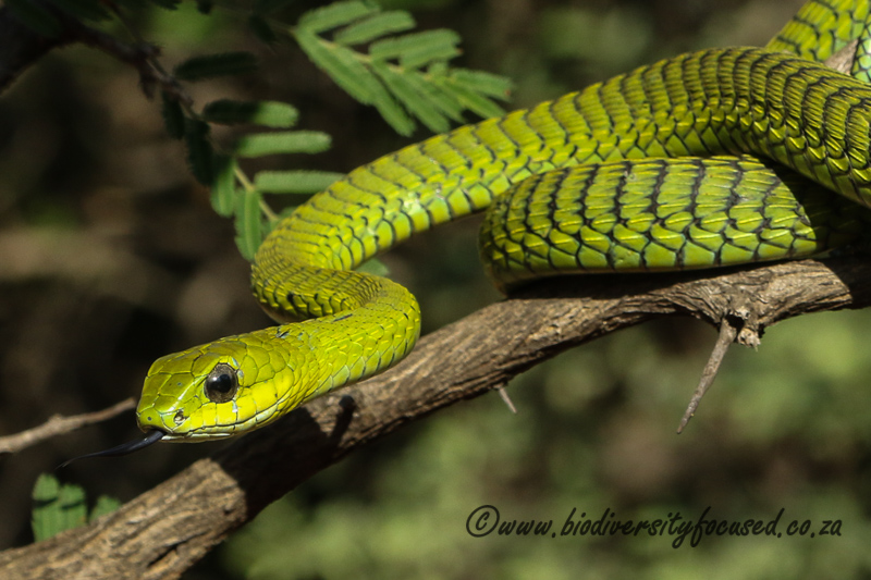 Boomslang (Dispholidus typus viridis) © Dorse
