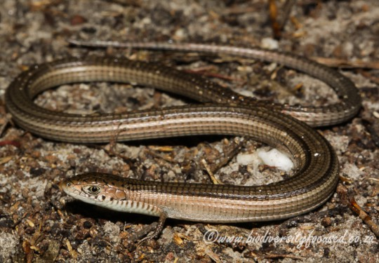Cape Long-tailed Seps (Tetradactylus tetradactylus)