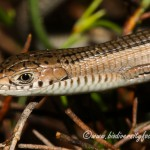Cape Long-tailed Seps (Tetradactylus tetradactylus) © Dorse
