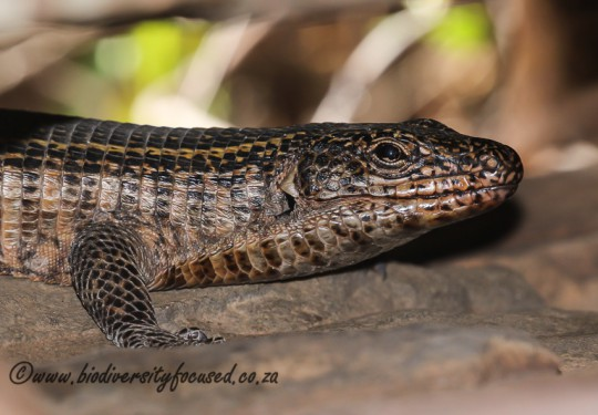 Common Giant Plated Lizard (Matobosaurus validus)