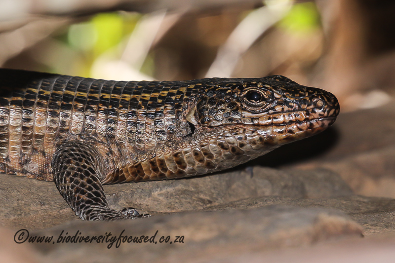 Common Giant Plated Lizard (Matobosaurus validus) © Dorse