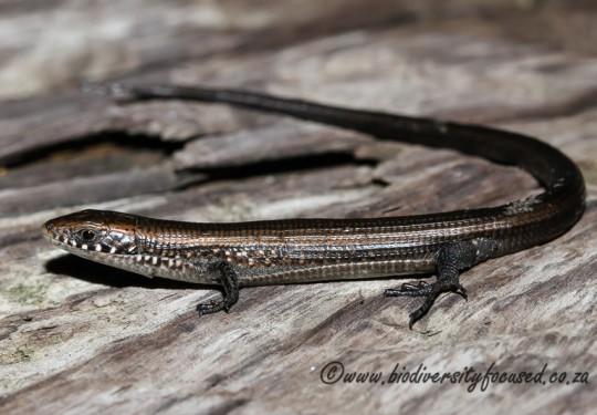 Short-legged Seps (Tetradactylus seps)