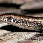 Short-legged Seps (Tetradactylus seps) © Dorse