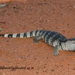 Southern Rock Monitor (Varanus albigularis albigularis) © Dorse
