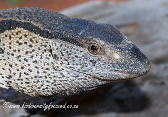 Southern Rock Monitor (Varanus albigularis albigularis)