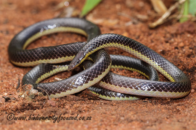 Striped Quill-snouted Snake (Xenocalamus bicolor lineatus) © Dorse
