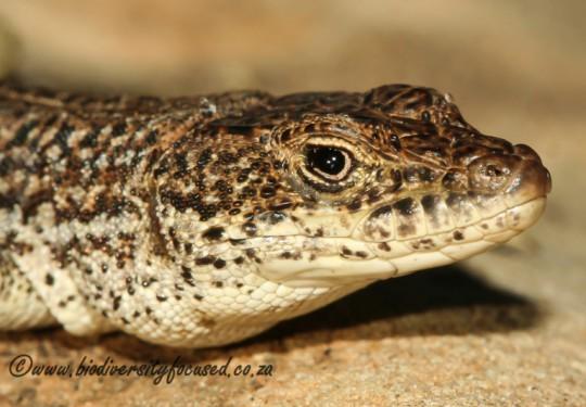 Burchells Sand Lizard (Pedioplanis burchelli)