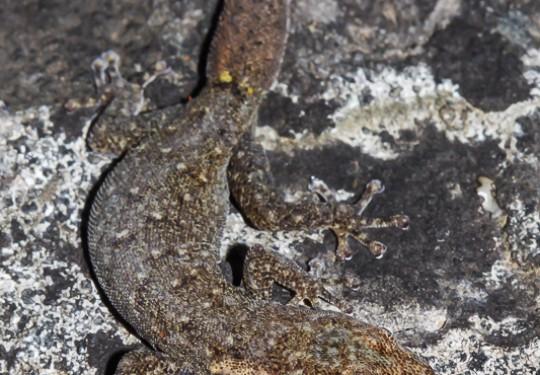 Cederberg Pygmy Gecko (Goggia hexapora)