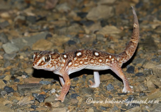 Common Giant Gecko (Chondrodactylus angulifer angulifer) - male
