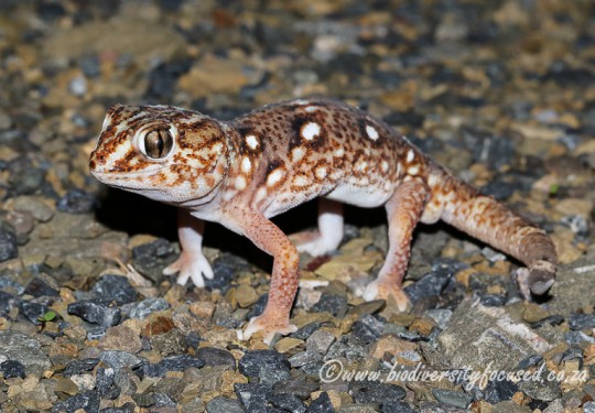 Common Giant Gecko (Chondrodactylus angulifer angulifer)