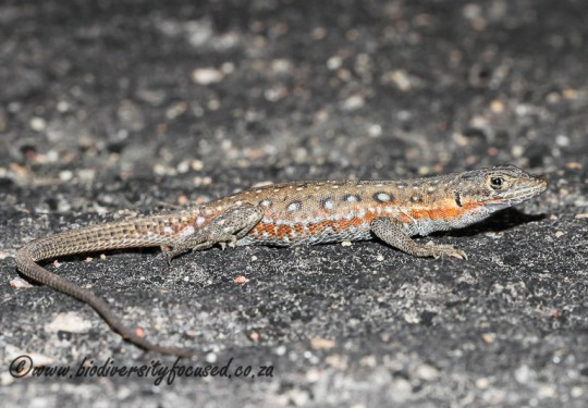 Common Sand Lizard (Pedioplanis lineoocellata pulchella)