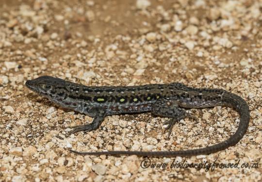 Common Sand Lizard (Pedioplanis lineoocellata pulchella) © Dorse