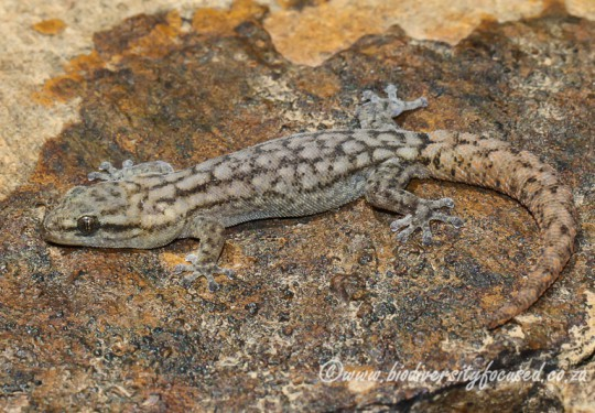 Essexs Pygmy Gecko (Goggia essexi)
