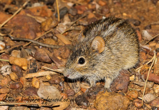 Four-striped Grass Mouse (Rhabdomys pumilio)