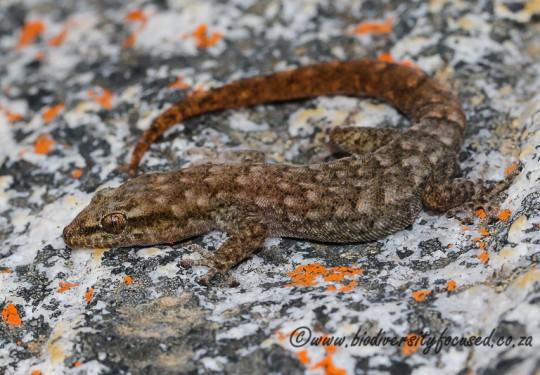 Hewitts Pygmy Gecko (Goggia hewitti)