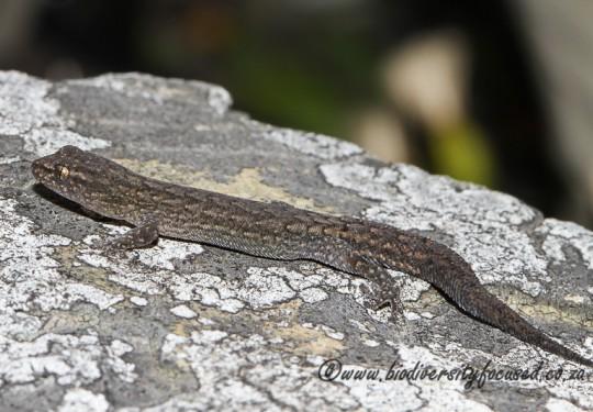 Incognito Pygmy Gecko (Goggia incognita)