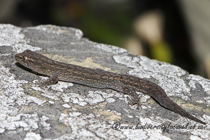 Incognito Pygmy Gecko (Goggia incognita) © Dorse