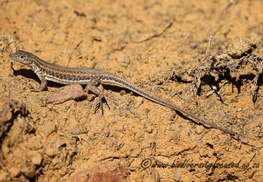 Karoo Sand Lizard (Pedioplanis laticeps)