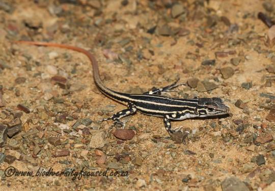 Karoo Sand Lizard (Pedioplanis laticeps) - juvenile