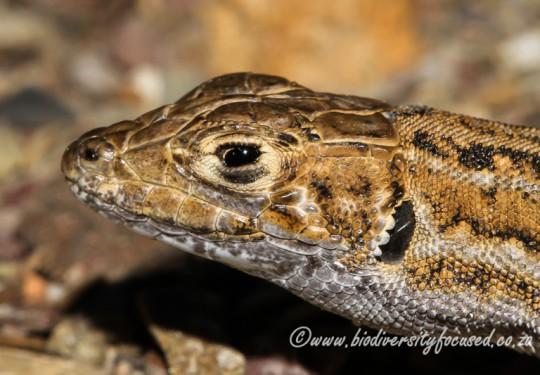 Knoxs Desert Lizard (Meroles knoxii)