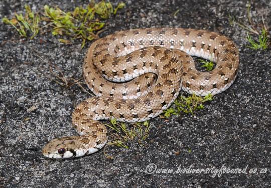 Mole Snake (Pseudaspis cana) - juvenile