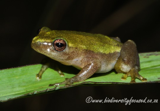 Pickersgills Reed Frog (Hyperolius pickersgilli)