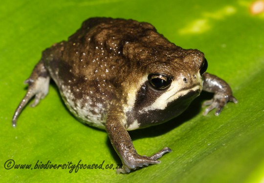 Whistling Rain Frog (Breviceps sopranus)