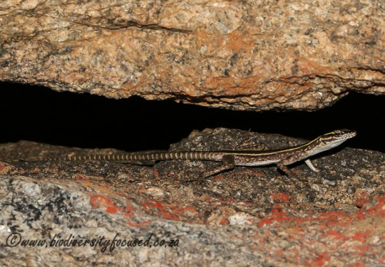 Namaqua Flat Lizard (Platysaurus capensis) - Female