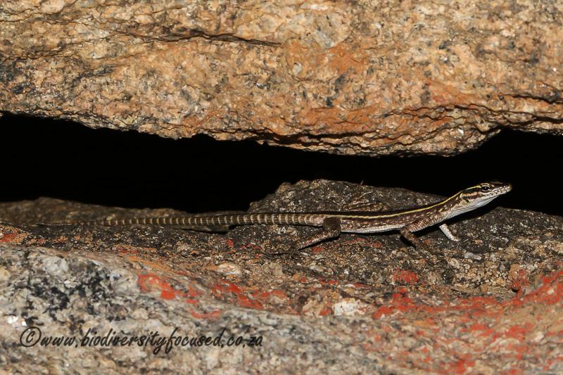 Namaqua Flat Lizard (Platysaurus capensis) © Dorse