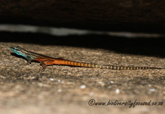 Namaqua Flat Lizard (Platysaurus capensis) - Male