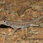 Spotted Desert Lizard (Meroles suborbitalis) © Dorse