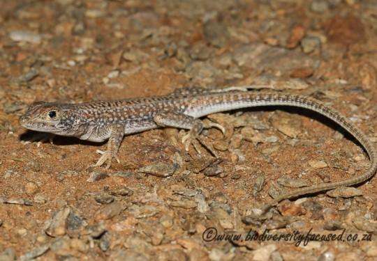 Spotted Desert Lizard (Meroles suborbitalis)