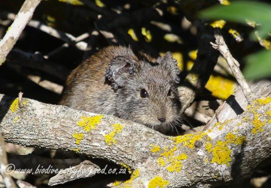 Bush Karoo Rat (Myotomys unisulcatus)