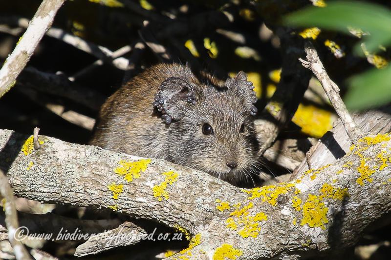 Bush Karoo Rat (Myotomys unisulcatus) © Dorse