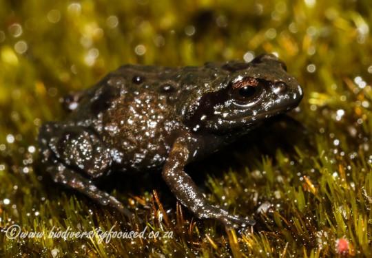Landdroskop Moss Frog (Arthroleptella landdrosia)