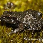 Landdroskop Moss Frog (Arthroleptella landdrosia) © Dorse