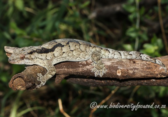 Arnolds Velvet Gecko (Homopholis arnoldi)