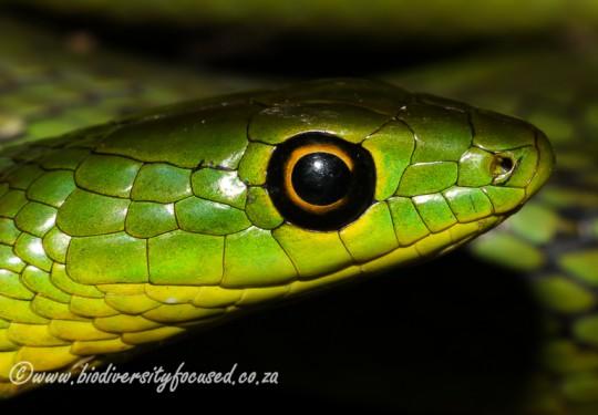 Eastern Natal Green Snake (Philothamnus natalensis natalensis)